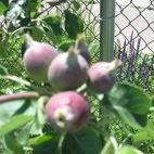 Baby Apples